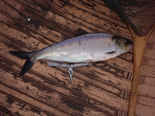 Shad caught in Waterville, Maine